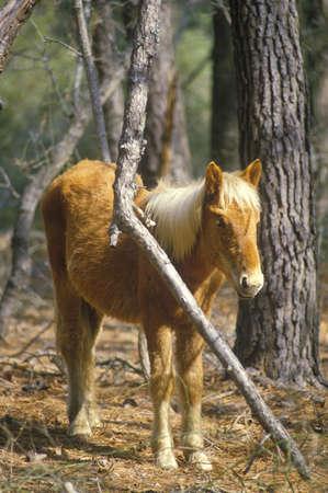 va: Wild pony, Assateague Wildlife refuge, VA