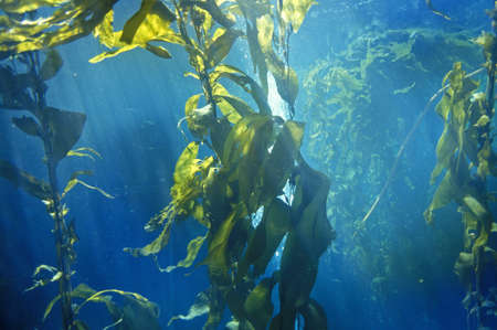 ca: Kelp forest, Monterey Bay Aquarium, Monterey, CA Editorial