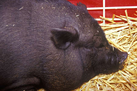 potbellied: Close-up of black pig in hay, petting zoo, Los Angeles County Fair Barnyard, Pomona, CA  Editorial