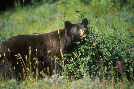 oso negro: Oso negro comer ar�ndanos, Parque Nacional Glacier, MT Editorial