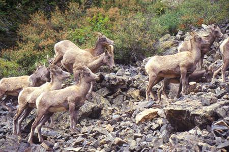 denver co: Herd of wild Mountain Goats, Denver, CO