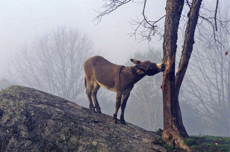 ms: Donkey on hill with a tree in fog near Great Barrington, MS