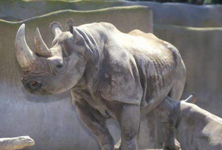 Rhinocéros avec le bébé, le zoo de San Diego, CA Banque d'images - 20514386