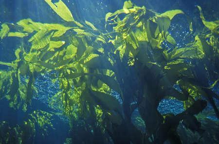 alga marina: Bosque Kelp, Monterey Bay Aquarium, Monterrey, CA