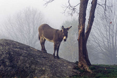 Donkey on hill with a tree in fog near Great Barrington, MS