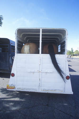 Rear view of horses being transported in horse trailer