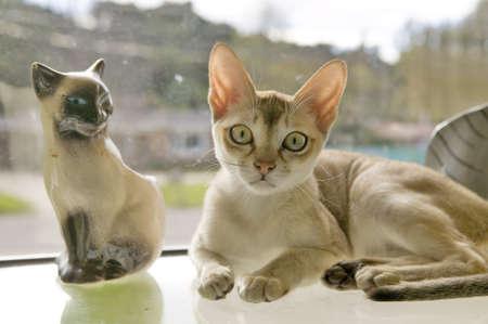 declared: Il Singapura razza di gatto, dichiarato dal governo di Singapore per essere un monumento nazionale vivente Editoriali