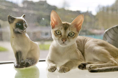 declared: The Singapura breed of cat, declared by the Singapore government to be a living national monument