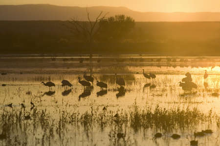wildlife refuge: Sandhill cranes walk on lake at sunrise at the Bosque del Apache National Wildlife Refuge, near San Antonio and Socorro, New Mexico  Editorial