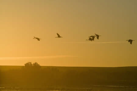 Sandhill cranes fly over the Bosque del Apache National Wildlife Refuge at sunrise, near San Antonio and Socorro, New Mexico