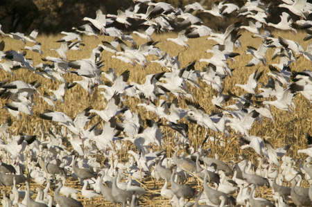 wildlife refuge: Snow geese take off from cornfield over the Bosque del Apache National Wildlife Refuge at sunrise, near San Antonio and Socorro, New Mexico