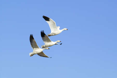 Snow geese fly in formation over the Bosque del Apache National Wildlife Refuge, near San Antonio and Socorro, New Mexico