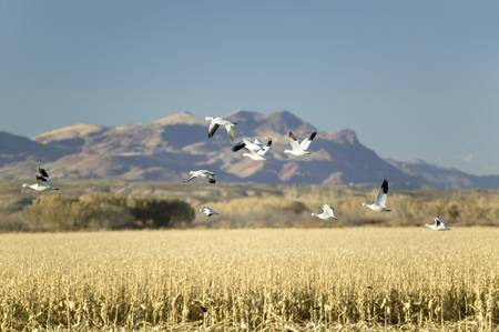wildlife refuge: Snow geese fly over cornfield over the Bosque del Apache National Wildlife Refuge at sunrise, near San Antonio and Socorro, New Mexico