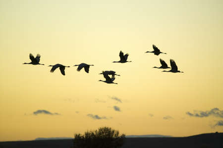 wildlife refuge: Sandhill cranes fly over the Bosque del Apache National Wildlife Refuge at sunrise, near San Antonio and Socorro, New Mexico