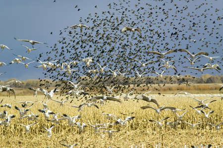 wildlife refuge: Thousands of snow geese, black birds and Sandhill cranes fly over cornfield at the Bosque del Apache National Wildlife Refuge, near San Antonio and Socorro, New Mexico