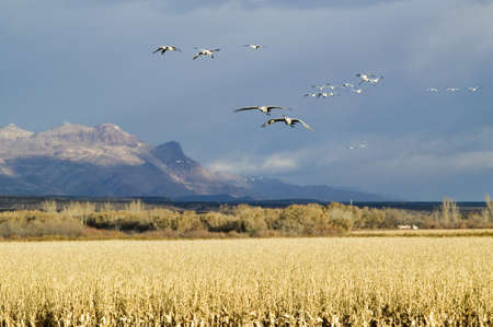wildlife refuge: Snow geese fly over corn field at the Bosque del Apache National Wildlife Refuge, near San Antonio and Socorro, New Mexico