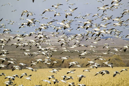 wildlife refuge: Thousands of snow geese fly over cornfield at the Bosque del Apache National Wildlife Refuge, near San Antonio and Socorro, New Mexico  Editorial