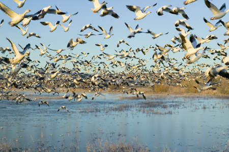 wildlife refuge: Thousands of snow geese take off at sunrise at the Bosque del Apache National Wildlife Refuge, near San Antonio and Socorro, New Mexico