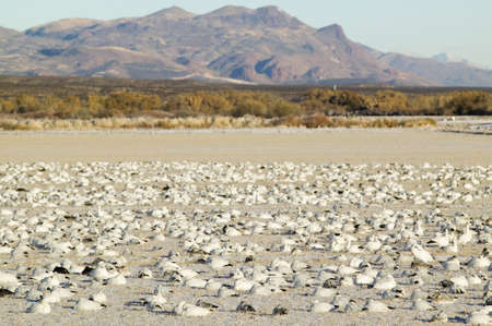 natural sciences: Snow geese on frozen field at the Bosque del Apache National Wildlife Refuge, near San Antonio and Socorro, New Mexico