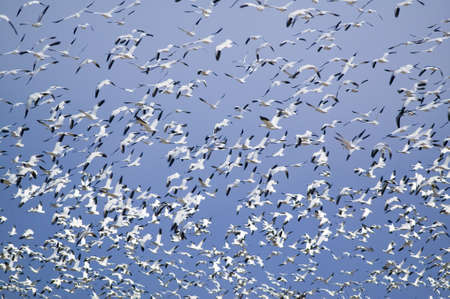 wildlife refuge: Thousands of snow geese fly against blue sky over the Bosque del Apache National Wildlife Refuge, near San Antonio and Socorro, New Mexico