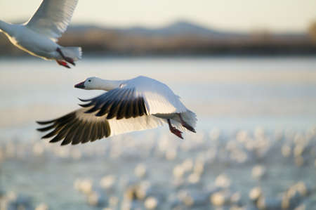 wildlife refuge: A closeup of a snow goose frozen in flight at the Bosque del Apache National Wildlife Refuge, near San Antonio and Socorro, New Mexico
