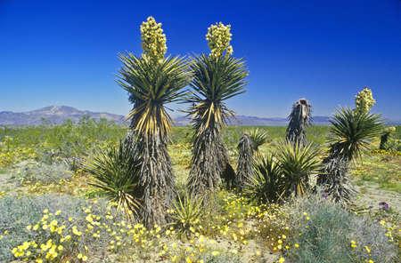 Joshua Tree Desert in bloom, Springtime, CA