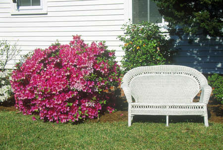 love seat: Bush of Azaleas next to wicker love seat, Beaufort, SC