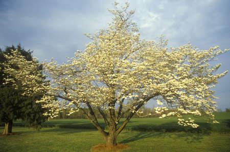 va: Fruit tree in bloom, James River Plantation, Jamestown, VA