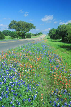 rd: Campo di bluebonnets in fiore Spring Willow City Loop Road. TX