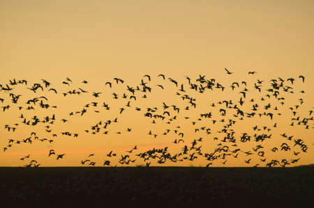 Hundreds of snow geese fly over the Bosque del Apache National Wildlife Refuge at sunrise, near San Antonio and Socorro, New Mexico