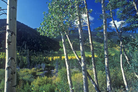 Aspens, San Juan National Forest, CO