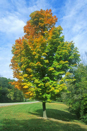 il: Tree with changing leaves, IL