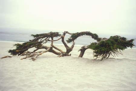 Wind blown Cypress tree in dunes, Carmel, CA