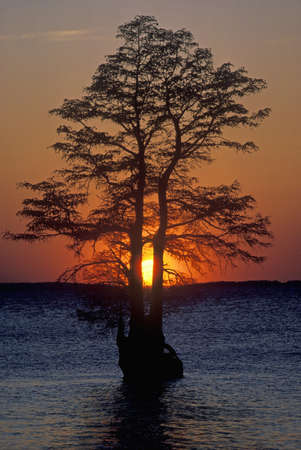 va: Silhouette of tree in James River, Jamestown VA