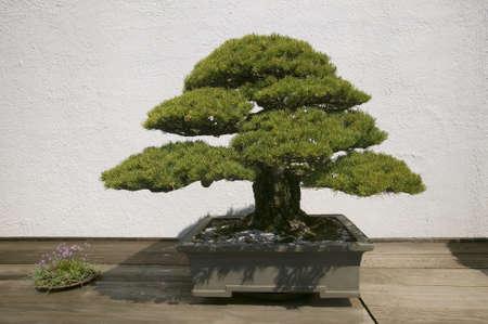 Japanese Bonsai tree in National Arboretum, Washington D.C.