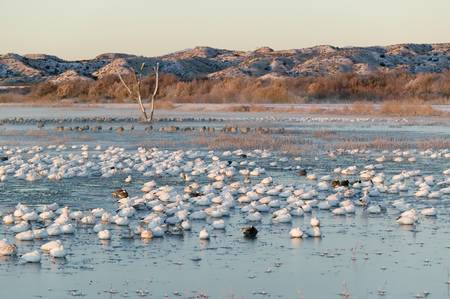 wildlife refuge: Thousands of snow geese and Sandhill cranes sit on lake at sunrise after early winter freeze at the Bosque del Apache National Wildlife Refuge, near San Antonio and Socorro, New Mexico  Editorial