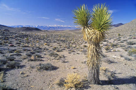 Joshua Tree Desert in bloom, Yucca plants, Springtime, CA Stock Photo - 20515890