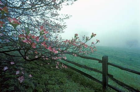 split rail: Dogwoods and split rail fence in spring fog, Monticello, Charlottesville, VA