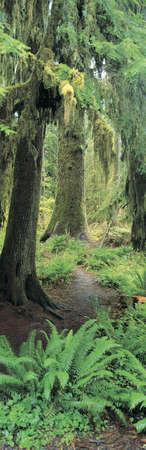 national forest: Bosque del viejo crecimiento en el Bosque Nacional Ol�mpico de Washington