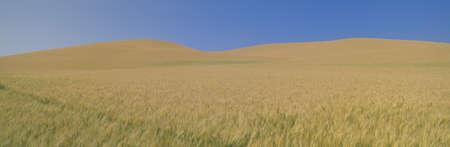 Wheat Fields, S.E. Washington