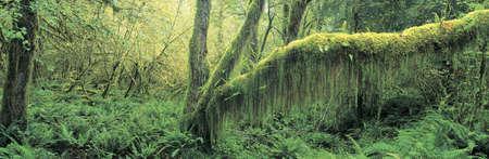 national forest: Bosque del viejo crecimiento en el Bosque Nacional Ol?mpico de Washington