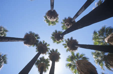 Looking up at indigenous palms in Palm Canyon, Palm Springs, California, home of Cahuilla peoples Editorial