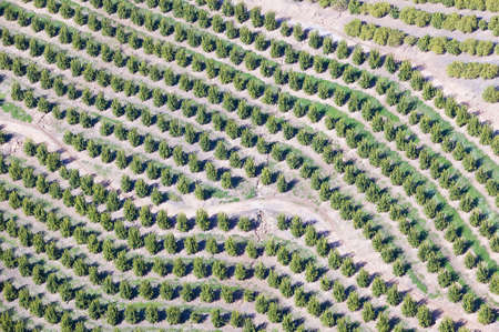 cropland: Aerial view of orange grove in Ventura County, Ojai, California