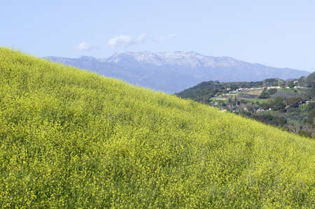 mustard plant: Yellow mustard plant grows in green spring field near Lake Casitas with Topa Topa Mountains in view in Ventura County near Ojai, California Editorial