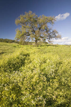 California Oak tree in spring field of flowers near Lake Casitas in Ventura County, Ojai, CA