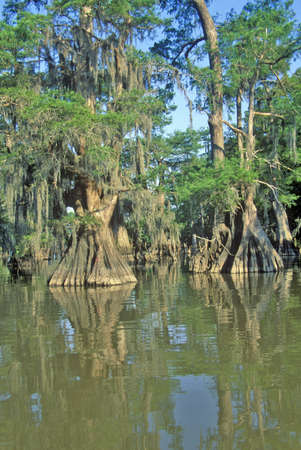 deep roots: Cypress Trees in the Bayou, Lake Fausse Pointe State Park, Louisiana