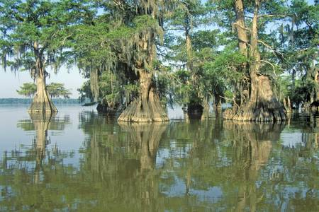 bayou swamp: Cypress Trees in the Bayou, Lake Fausse Pointe State Park, Louisiana