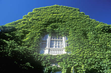 ivy league: Ivy Covered Building, Harvard University, Cambridge, Massachusetts