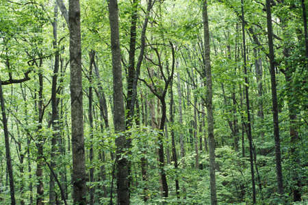 va: Forest in Blue Ridge Mountains, VA in full foliage