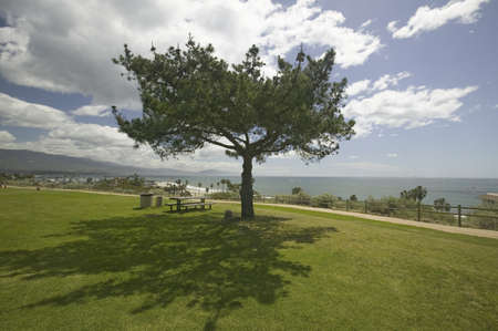 barbara: A single windblown tree growing on a green lawn at City College in Santa Barbara, Santa Barbara coastline, California